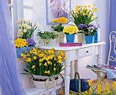 Narcissus 'Tete a Tete' 'Bridal Crown' (Narzissen), Primula