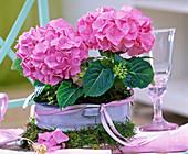 Hydrangea (rosa Hortensien) in emaillierter Schüssel