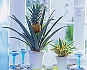 Ananas comosus (Ananas) mit und ohne Frucht