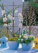 Chaenomeles (Zierquitte), Salix 'Kilmarnock' (Kätzchenweide)
