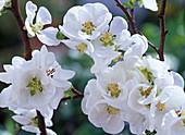 Blüten von Chaenomeles 'Nivalis' (Zierquitte)
