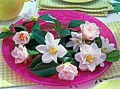 Blüten und Blätter von Camellia 'Hagoromo' (Kamelie, rosa)