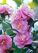 Camellia Hybr. 'Spring Festival' (Kamelie)