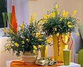 Cytisus x racemosus (Geißklee) in hohem gelben und Ringeltopf auf dem Tisch