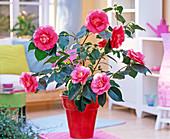 Camellia japonica 'Elegans' (Kamelie) in rotem Übertopf im Wohnzimmer