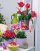 Bellis (Tausendschön), Primula acaulis (Frühlingsprimeln), Tulipa (Tulpe)
