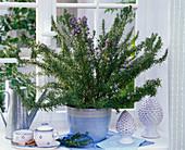 Rosmarinus officinalis (Rosmarin) in hellblauem Übertopf auf der Fensterbank