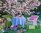 Korbsessel und Tisch vor Magnolia soulangeana (Tulpenmagnolie)