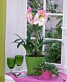 Hippeastrum (Amaryllis) weiß mit rosa Hauch in grünem Übertopf