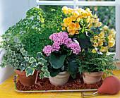 Urlaubsbewässerung mit Tongranulat: Begonia (Begonie), Davallia (Hasenfußfarn)