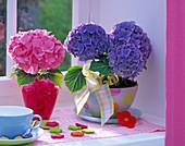 Hydrangea macrophylla (Hortensien) in pink und blau auf der Fensterbank