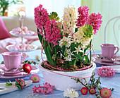 Hyacinthus (Hyazinthen in rosa und weiß) in weiße Schale gepflanzt