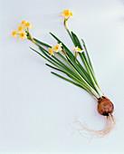 Narcissus ' Minnow ' (Narzisse) mit Zwiebel als Freisteller