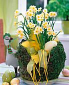 Osternest aus Draht und Moos, gefüllt mit Ostereiern und Narcissus 'Minnow'
