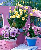 Narcissus 'Minnow' (Narzissen), Viola wittrockiana und cornuta