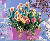 Narcissus 'Honkey' 'Minnow' (Narzissen), Tulipa 'The First'