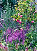 Rosa 'Centifolia Muscosa' (Moosrose)