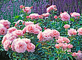 Rosa 'Botticelli' (Kleinstrauchrose)