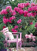 Rosa Holzsessel von blühendem Rhododendron