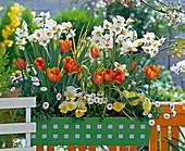 Narcissus 'Geranium' (Duftnarzissen), Tulipa 'Prinzess Irene'