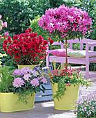Rhododendron 'Cheer' 'Hino Crimson' (Japanische Azaleen)