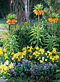 Frühlingsbeet mit Fritillaria (Kaiserkrone), Narcissus 'Jetfire' 'Minnow'