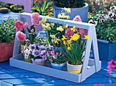 Narcissus 'Minnow' 'Jetfire' (Narzissen), Hyacinthus 'Pink Pearl'