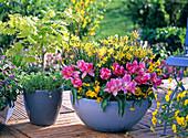 Schale mit Tulipa 'Peach Blossom' (Tulpen), Narcissus 'Hawera'