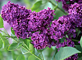 Blütenrispe von Syringa vulgaris (Flieder)