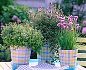 Thymus (Thymian), Satureja (Bohnenkraut) und Allium (Schnittlauch)