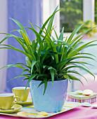 Chlorophytum laxum (Grünlilie) in hellblauem Übertopf auf Tisch