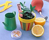 Citrus limon (Zitrone): Sämlinge, aufgeschnittene Frucht, Kerne