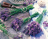 Lavandula (Lavendel) zum Trocknen gebündelt, Schere