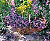 Lavandula (Lavendel) geschnitten in Weidenkorb