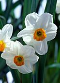 Narcissus 'Geranium' (Tazetten-Narzissen)