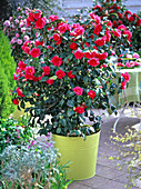 Camellia 'Flame' (Kamelie)