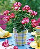 Pelargonium 'Little Lady Bicolor' (Mini-Geranie)