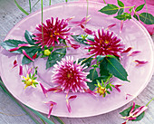 Blüten von Dahlia (Kaktusdahlien, pink mit weißen Spitzen)