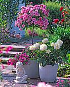 Rosa 'Medley Soft Pink' 'Ambiente' (Rosenstamm, Edelrose