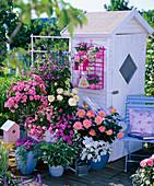 Rosa 'Medley Soft Pink' 'Ambiente' 'Inspiration' (Rosen von Noack)