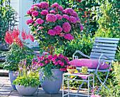 Hydrangea 'Schöne Bautznerin' (Hortensienstamm) unterpflanzt