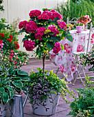 Hydrangea 'Amsterdam' (Hortensie) Stamm unterpflanzt