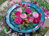 Blüten von historischen Rosa (Rosen), Alchemilla