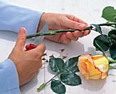 Stiel von Rosa (Rose) sehr schräg anschneiden