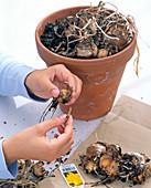 Zwiebeln von Narcissus 'Dick Wilden' (Narzissen) aus dem Topf nehmen und säubern