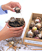 Zwiebeln von Hyacinthus (Hyazinthen) aus dem Topf nehmen und lagern
