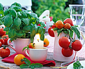 Lycopersicon (Tomaten), Ocimum (Basilikum) in Tasse und Kanne