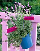 Lavandula (Lavendel) und Thymus (Thymian) in türkisem Eimer