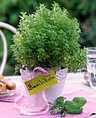 Ocimum basilicum var. minimum 'Oase' (Mini - Basilikum)