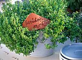 Thymus citriodorus (Zitronenthymian)